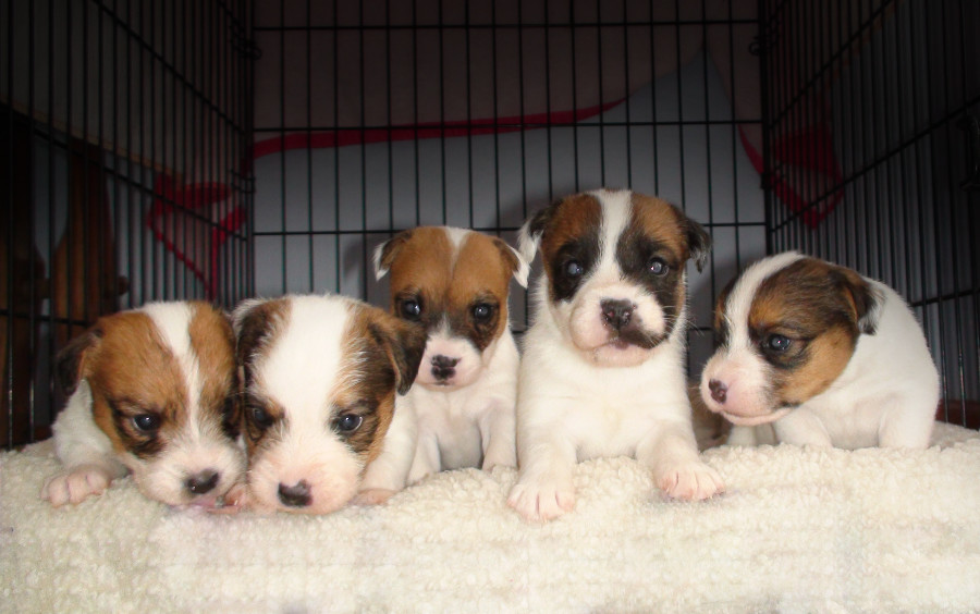 jack-russell-puppies